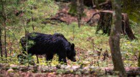 Bear in America on the American Adventure